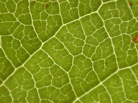 pattern leaf veins image after textures leaf vein texture pattern green