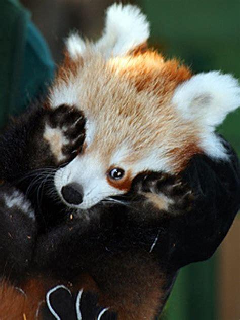 cute red baby pandas page    barnorama