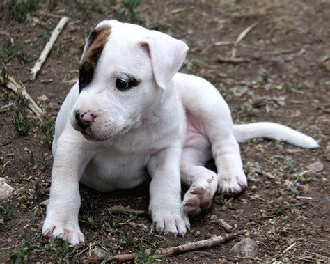 pitbull newborn puppies baby puppy pit bull bach flickr photo