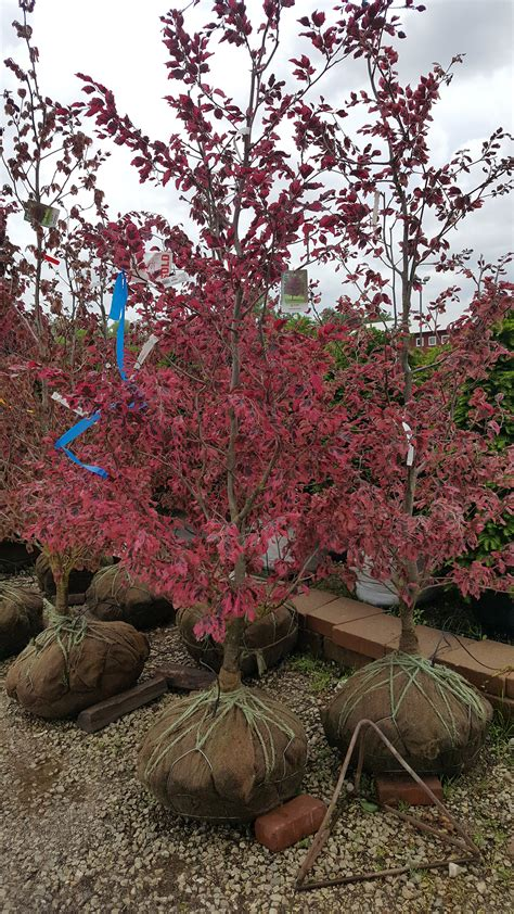 tri colored beech pacocha tri color beech trees at nursery landscape and