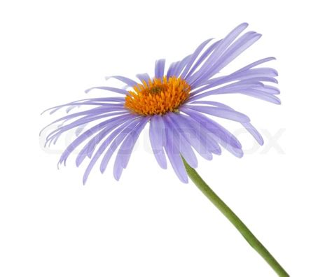 Blus Chamomile blue chamomile flower stock photo colourbox