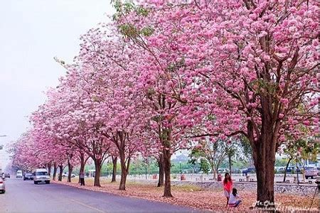 colourful chomphu phanthip trees at kasetsart university