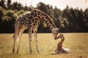 giraffe and baby giraffe pictures photos and images for