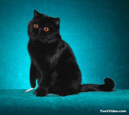 cat untuk wallpaper likeable smoking cat funny gif animation