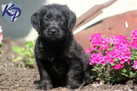 mini labradoodle puppies for sale in pa 25 best ideas about miniature labradoodle for sale on miniature golden