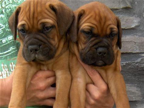 how much are bullmastiff puppies adopt bullmastiff puppies in india pets world