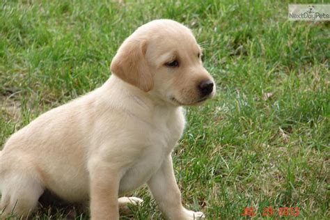 american lab puppies for sale labrador retriever puppy for sale near las vegas nevada 10acab0b 18a1