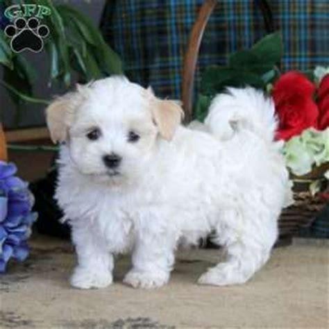 coton de tulear puppies for sale in pa coton de tulear puppies for sale in de md ny nj philly dc and baltimore