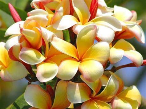 Hawaiian Wedding Flower Picture by Tropical Flowers Wallpaper 1024x768 78444
