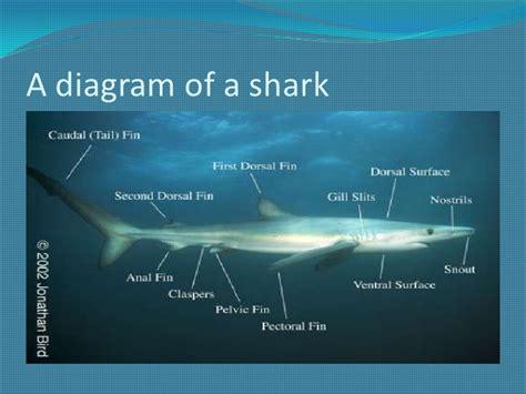 diagram of a shark diarra