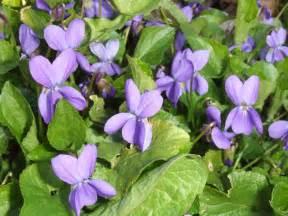 edible wild plants violet viola odorata emergency