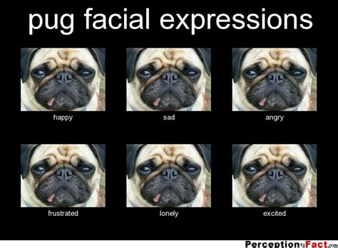 angry pugs pug expressions what think i do what i really do perception vs fact