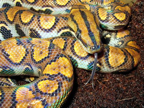 colorful snakes abcs of animal world the world s most colorful large
