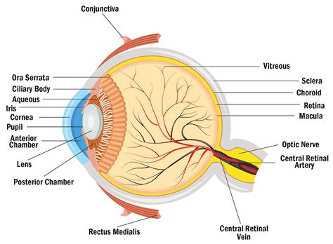 does eye color affect peripheral vision about ol blue and brown and hazel bca content