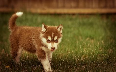 brown husky puppy brown husky puppy wallpaper