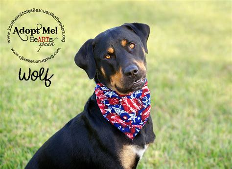 southern rottweiler rescue rottweiler southern states rottweilers rescue rottie puppies breeds picture