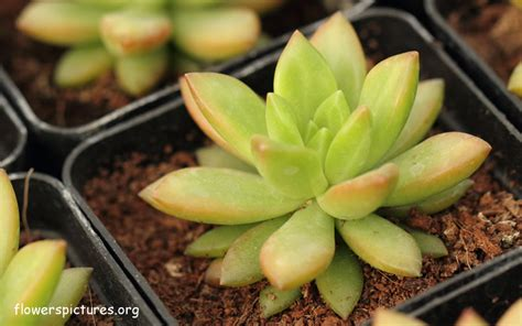 How To Propagate Succulents Sunset - x graptosedum california sunset pictures