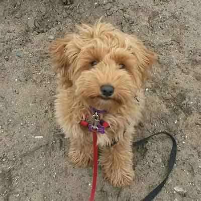 What Is The Miniature Goldendoodle And Is It Any More