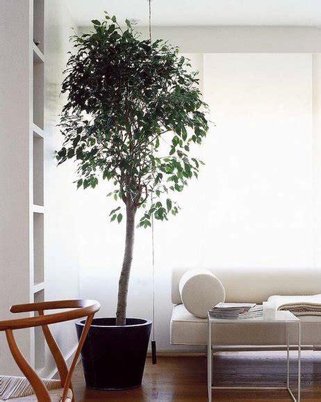 ficus planta interior las plantas de interior m 225 s resistentes mi casa