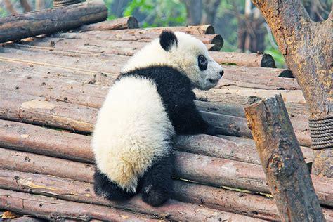 St Panda Biru Kid コアラのしっぽ パンダのしっぽ 親子ボードゲームで楽しく学ぶ