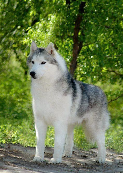 grey husky puppies 50 beautiful siberian husky photos and pictures
