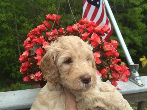labradoodle puppies ma australian labradoodles of plymouth ma home