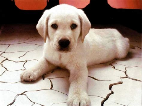 cutest puppies puppy puppies wallpaper 13814824 fanpop