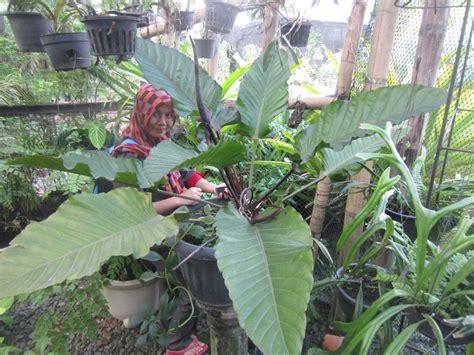 jual tanaman hias anthurium black beauty murah  lapak