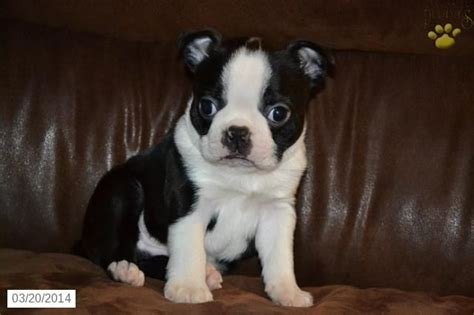boston terrier puppies for sale ohio boston terrier puppy for sale in ohio puppies for sale boston terrier