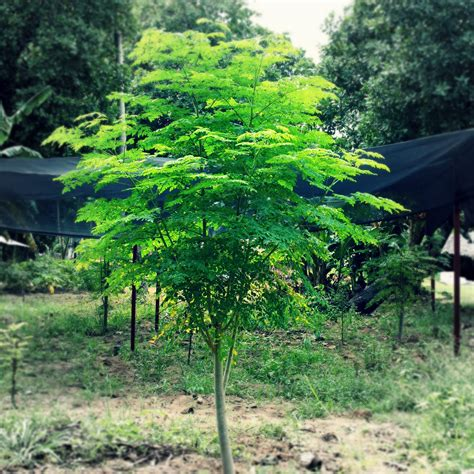 Teh Moringa the about moringa oleifera survival gardener