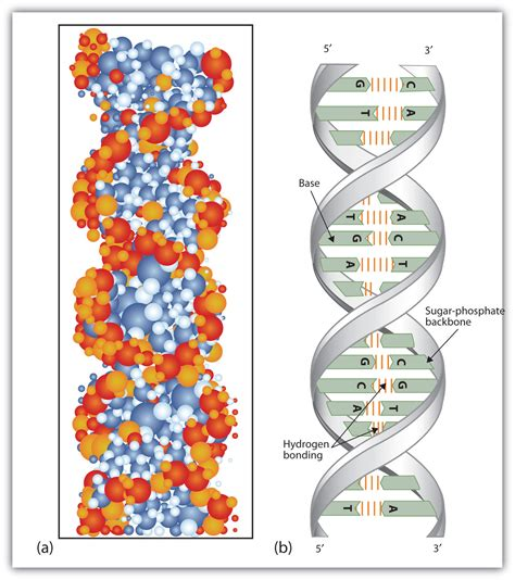 section 10 2 review dna structure nucleic acid structure