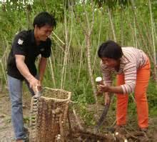 Bibit Ubi Racun kebun singkong racun rumput buatan sendiri yang murah meriah