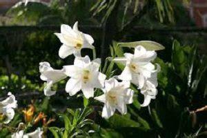menanam bunga bakung panduan lengkap