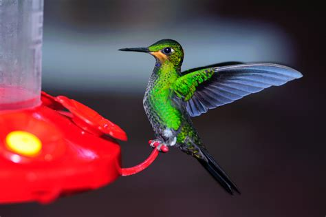 best 28 how far do hummingbirds travel broad billed