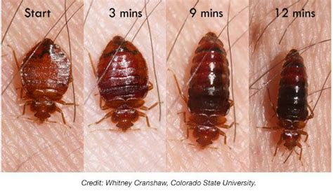 how long can bed bugs go without food bed bug pictures at bed bug supply
