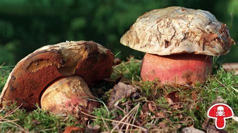 Pilze Im Garten Giftig Für Kinder by Pilze Sammeln Vorsicht Giftig Mushrooms Oh Yeah