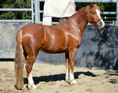 Section D Colt For Sale by Registered Section D Cob Gelding Horsezone