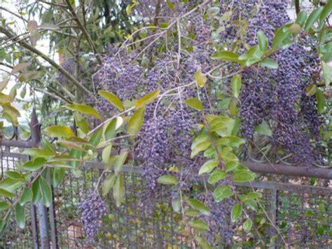 pianta con fiori viola a grappolo fiori viola a grappolo gpsreviewspot