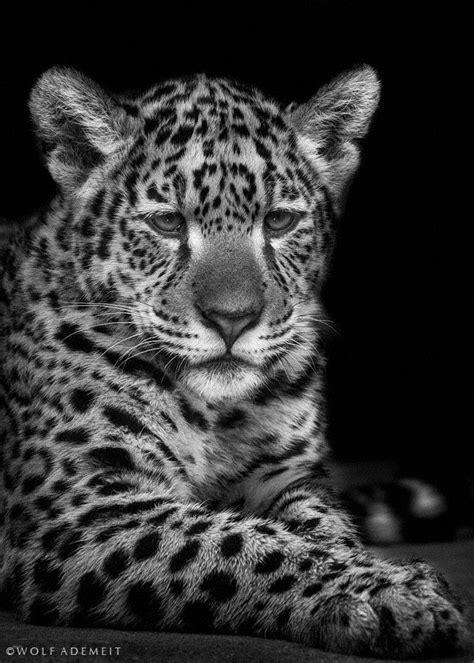 imagenes de jaguar blanco 17 mejores im 225 genes sobre blanco y negro en pinterest