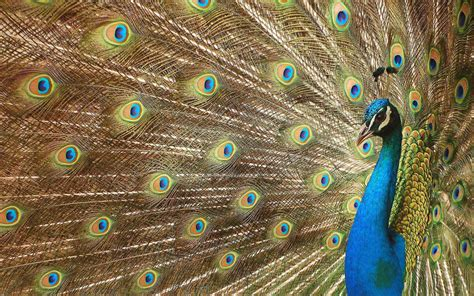 peacock wallpapers wallpaper peacock wallpapers