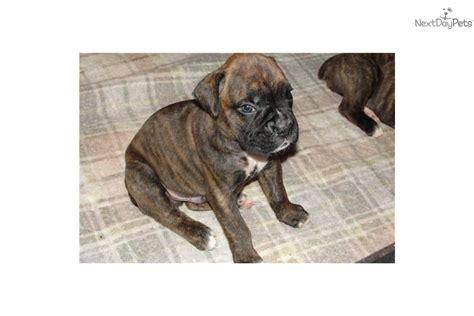 pocket boxer puppies for sale get notified when new puppies are added