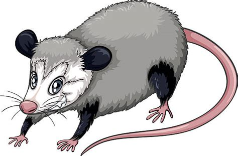opossum clipart possum clipart pencil and in color possum clipart