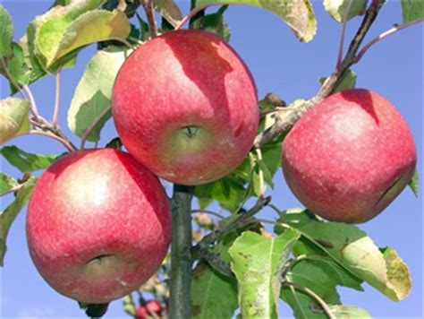 fertilizing fruit trees moab times independent gardening living in grand style