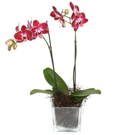 Orchid In Glass Vase by Pink Phalaenopsis Orchid Plant In Glass Vase