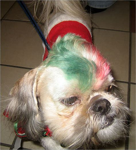 shih tzu mohawk pet at santa s boston