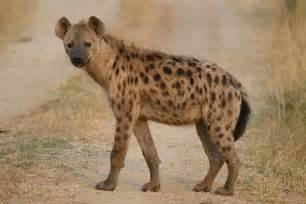 spotted hyena parody wiki fandom powered wikia