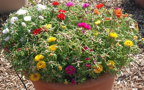 Bibit Tanaman Mawar Mix 10pc Kg tanaman portulaca warna acak 1 rumpun bibitbunga