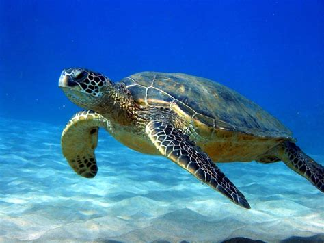 images of turtles images of sea turtle pics photos animal two sea