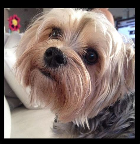 puppy haircuts for yorkie maltese mix 21 best morkie cuts grooming images on pinterest yorkies