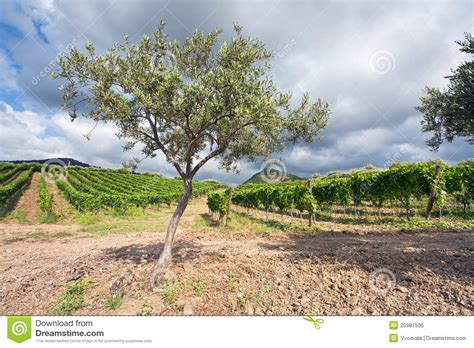 Olive Garden Grapevine by Olive Garden And Vineyard Sicily Royalty Free Stock Image